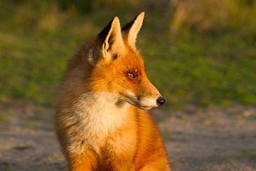 Fuchs in der Abendsonne von Hanneke Ruijterlinde
