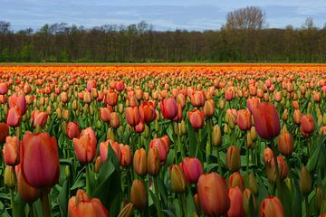 Tulpen van Michel van Kooten