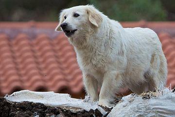 Griekse hond van Ruud Lobbes