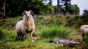 Mouton de bruyère de Drenthe sur Robert Geerdinck