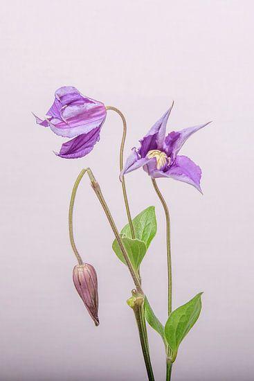 Clematis/bloem/ in de knop gebroken/ Clematis /flower/ broken in the button van Corinne Cornelissen-Megens