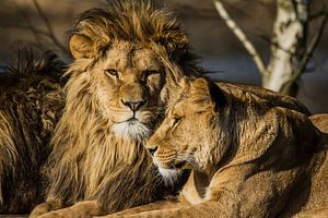 Leo - Löwenpaar von Ron van Zoomeren