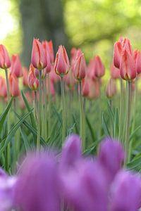 Tulpen in  een mooi  fris bos