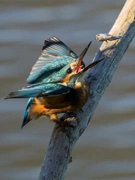 Ijsvogel van Loek Lobel