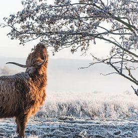 Schotse Hooglander in de winter van Ans Bastiaanssen