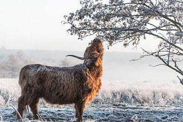 Schotse Hooglander in de winter