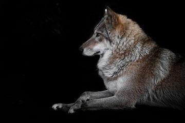 Porträt einer schönen Wölfin, die mit gekreuzten Beinen in der Dunkelheit sitzt. von Michael Semenov