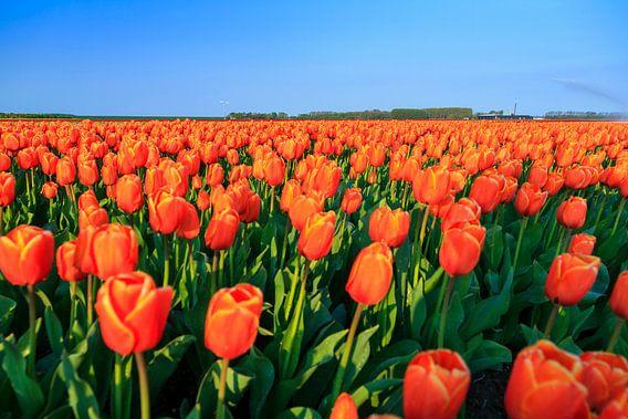 Oranje tulpen in het veld van Dennis van de Water