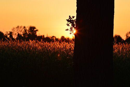 Zonsondergang tarweveld
