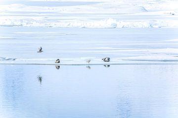 zeehonden bij Jökulsárlón von Jo Pixel