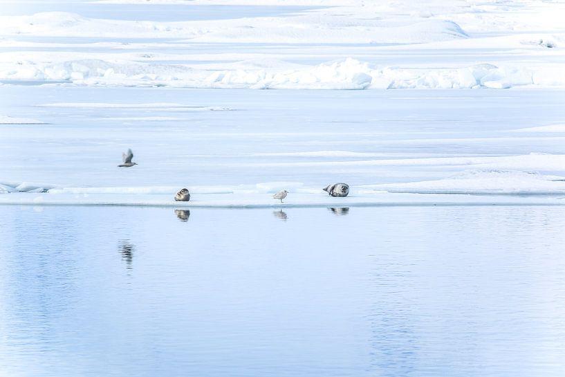 zeehonden bij Jökulsárlón van Jo Pixel