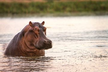 Nijlpaard in de rivier van Geke Woudstra