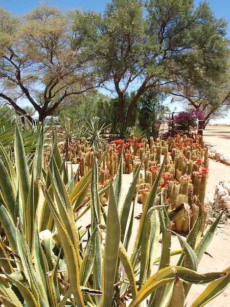 Namibië cactussen bij Moose Backery van Annie Lausberg-Pater