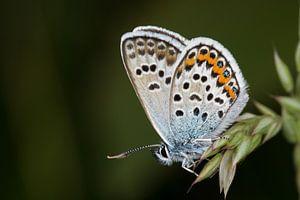 Heideblauwtje (Plebejus argus) van Jaco Visser