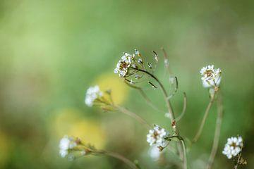 Witte lentebloemen van Martina Weidner