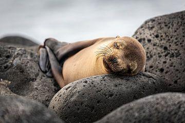 Friedlich schlafender Seelöwe auf den Galapagosinseln mit entspannt gefalteten Flossen von Lex van den Bosch
