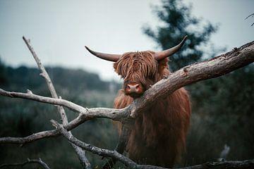 Schotse Hooglander. van Dylan Barkley
