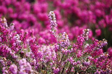 springtime! ... pink, pinker, pinkest V von Meleah Fotografie