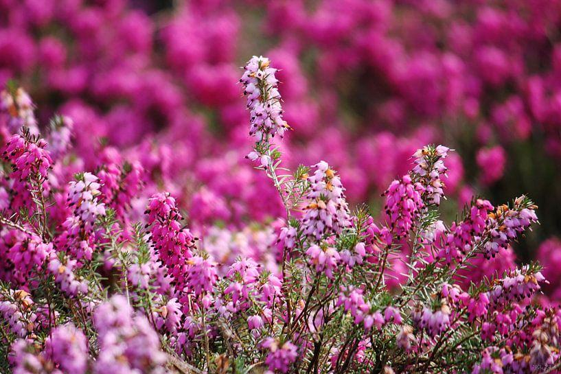 springtime! ... pink, pinker, pinkest V van Meleah Fotografie