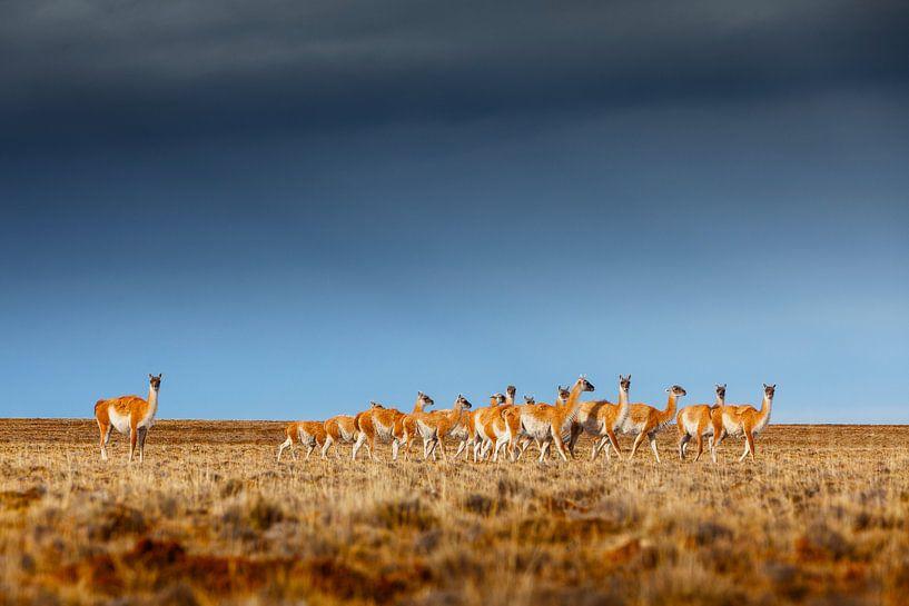 Guanaco kudde op de pampa in Patagonië van Chris Stenger