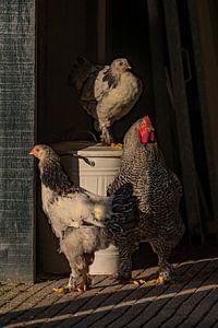 De haan met zijn kippen