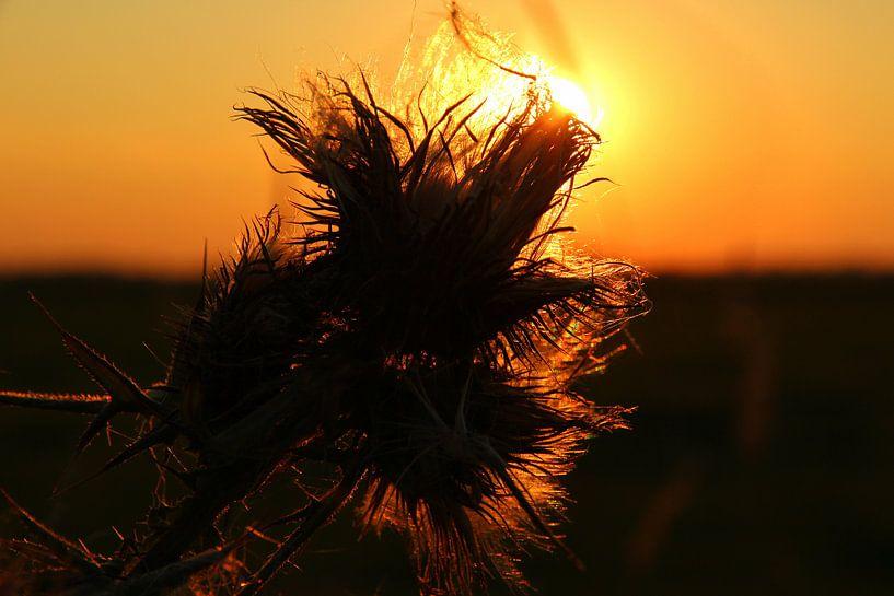 Zonsondergang door de bloem van Fotografie Sybrandy