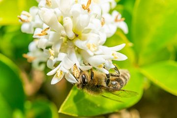 Bij is op zoek naar nectar! von Maurice Looyestein
