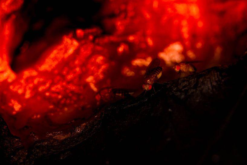 Fruitvliegjes in lava van Roel Verver