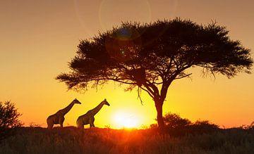 LPH 71154563 Girafes sous un arbre au coucher du soleil, Namibie sur BeeldigBeeld Food & Lifestyle
