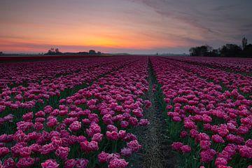 Roze van Peter Heins