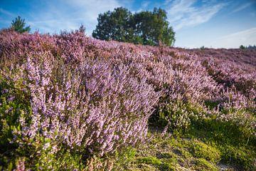 Blühende Heidefelder am Ende des Sommers von Fotografiecor .nl