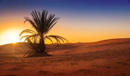 Eenzame palm in de woestijn bij zonsopkomst, Marokko