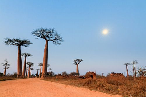 Allée des baobabs in maanlicht van Dennis van de Water