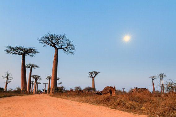 Allée des baobabs in maanlicht