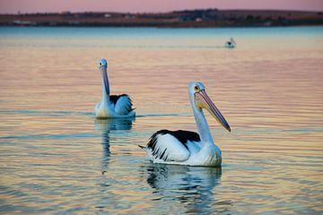 Dobberende Pelikanen in Avondlicht van The Book of Wandering