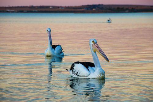 Dobberende Pelikanen in Avondlicht