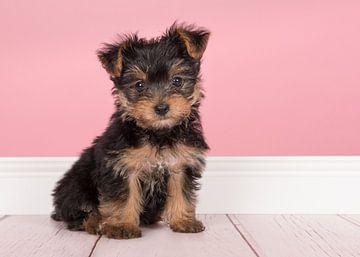 Yorkshire-Terrier-Welpe von Elles Rijsdijk