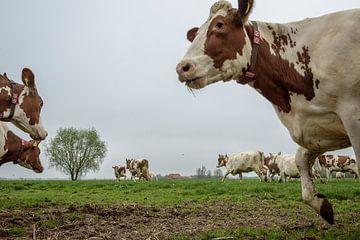 Koeien van John van Gelder