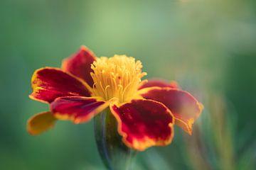 Porträt einer blühenden afrikanisch-rot-gelben Blume (tagetes) von KB Design & Photography (Karen Brouwer)