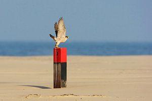 Slechtvalk (Falco peregrinus) van Beschermingswerk voor aan uw muur