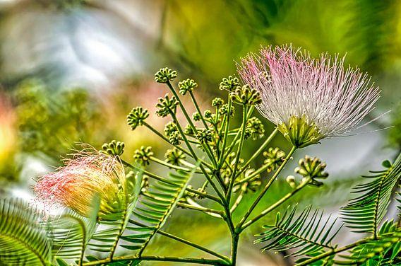 Albizia, de Perzische slaapboom van Frans Blok