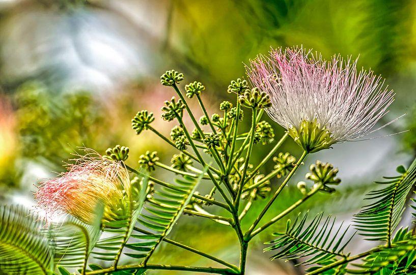 Albizia, der Seidenbaum von Frans Blok