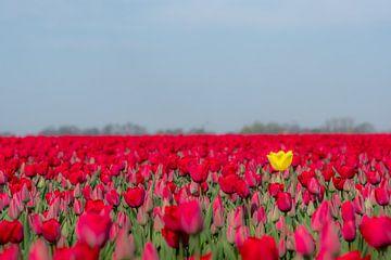Opvallende tulp van Moetwil en van Dijk - Fotografie