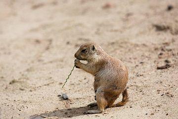 Prairiehond eet grassprietje van Roel Bergsma