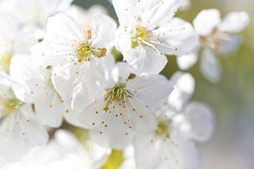 Blüte im Frühling II von Miranda van Hulst