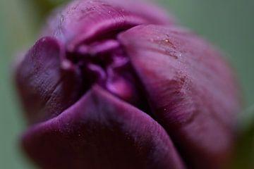 Tulip von Christer Andersson
