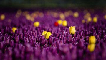 Is het nou een paars of geel tulpenveld van Fotografiecor .nl