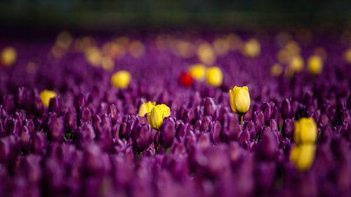 Is het nou een paars of geel tulpenveld