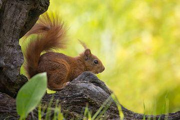 Rode eekhoorn op stam sur Carla Odink