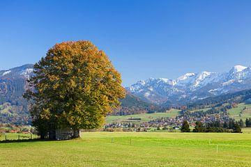 Alleinstehender Baum im Herbst, Ostallgäu, Bayern, Deutschland von Markus Lange